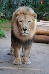 Hubert (greekgal.esm) Tags: africanlion lion bigcat cat feline animal mammal carnivore hubert losangeleszoo lazoo losangeles griffithpark sony rx10m4 rx10iv