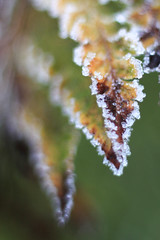 IMG_0813 (TMM Cotter) Tags: fern frost esquimalt gorge park japanese garden plant winter macro victoria bc