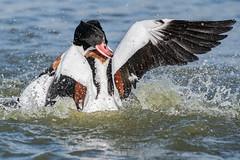 Shelduck (females) Jan 2019 (a) (In Explore) (jgsnow) Tags: purple bird waterbird duck shelduck female fighting hy explore