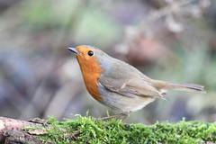 Robin (WiltsWildAboutBirds) Tags: erithacusrubecula moss log countryside woodland britishbirds nature photography ornithology wiltshirebirds wiltswildaboutbirds robin