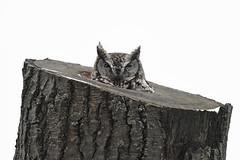 FGR_2291 (frodin78) Tags: easternscreechowl screech owl owls birds nature wildlife raptors birdsofprey
