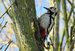 Great spotted woodpecker (marksargeant57) Tags: withamwaycountrypark canonpowershotsx60hs treetrunk tree bird woodpecker greatspottedwoodpecker treebark