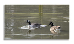 Studley Royal walk 2. (johnhjic) Tags: johnhjic goose north yorkshire