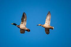 Malards (Pawel Skokowski) Tags: malard duck anas platyrhynchos flying bird birds birdwatching male female couple sky waterbird uk nature wildlife ornithology fauna