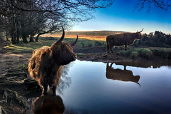 (OutdoorMonkey) Tags: cow cows cattle animal quantocks greathill quantockhills somerset droveroad pool pond water bluesky countryside rural nature natural scenery scenic calm morning