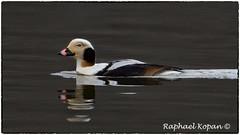 Long Tail Duck (RKop) Tags: eastforklake raphaelkopanphotography ohio d500 600mmf4evr 14xtciii nikon