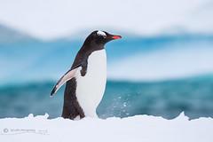 Shuffling Gentoo Penguin (cjdolfin) Tags: antarcticpeninsula antarctica pygoscelispapua avian bird blue cjdolfin gentoo ice penguin snow white