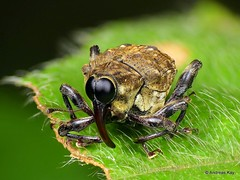 Big eyed Weevil, Piazurus sp., Curculionidae (Ecuador Megadiverso) Tags: amazon andreaskay beetle coleoptera conoderinae curculionidae ecuador focusstack idbyhenryhespenheide piazurussp rainforest tropic weevil