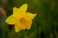 Yellow Daffodil (borders92109) Tags: flower daffodil plants garden yellow nature san diego california southern socal sony a7ii tamron 2875 f28