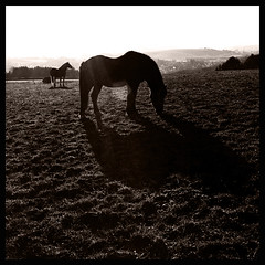 Shadow.... (Claudio Taras) Tags: claudio contrasto cavallo ombre prato erba 6x6 mediumformat medioformato trix400 tanol taras moersch bw bokeh biancoenero bokehlicious monocromo monochrom film filmisnotdead hasselblad501cm pstoning