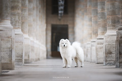 T H U M B E L I N A (coline.derin) Tags: samoyed samoyede samoyède dog workinggroup canon6d