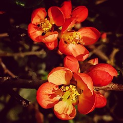 Quince (CAJC: in the PNW) Tags: snapseedfilters snapseedtools flickrfiltersonandroid icedteaflickrfilteronandroid samsunggalaxys9 quince earlyspring urbangardens seattlewa
