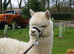An alpaca called Jackson! (Andy Scargill Photography) Tags: alpaca