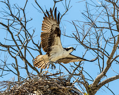 Osprey Takeoff from Nest (dbadair) Tags: outdoor sky nature wildlife 7dm2 ef100400mm canon florida bird nest