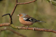 Chaffinch (hedgehoggarden1) Tags: chaffinch bird wildlife nature creature animal sonycybershot norfolk eastanglia rspb uk birds sony branch