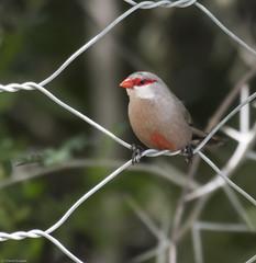 Common Waxbill (Estrilda astrild)-0076 (Dave Krueper) Tags: africa aves bird birds cowa estrildidae landbird passeriformes passerine southafrica waxbill