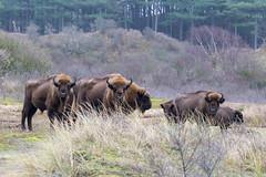 Wild bison on meadow in front of forest in Zuid Kennemerland National Park near Zandvoort, Netherlands