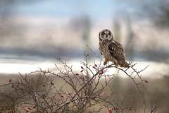 Short-eared owl (Asio flammeus) (sinky 911) Tags: shortearedowl raptor asioflammeus birdofprey birds owl nature wildandfree 7dmkii canon jss911