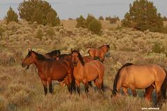 Wild Kiger mustangs (calljohn3) Tags: kiger buckskin equine wildhorses wildlife horses wild mare horsesoregonwildhorseswildlifenature steens