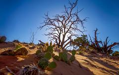 The Desert Tree (KC Mike Day) Tags: sand desert tree utah canyonlands park national cactus scorched earth southwest light shadow canon 1635 roadtrip landscape barren