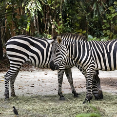 Zebra (Synghan) Tags: zebra horse animal mammal square nature natural wild wildlife blackwhite tranquility peace photography outdoor colourimage fragility freshness nopeople foregroundfocus adjustment interesting awe wonder fulllength depthoffield vivid sharpness equus singaporezoo singapore head headshot standing