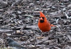 The birds (kirsten.eide) Tags: birder avion d3300 dslr nikon outdoors red birds cardinal