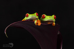 Two Red eyed tree frogs sc (AngiZW) Tags: redeyedtreefrogs treefrogs frogs cute amphibians agalychniscallidryas pets animals