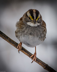 Not on the level (Fred Roe) Tags: nikond7100 nikonafsnikkor200500mm156eed nature naturephotography national animals birds birding birdwatching birdwatcher sparrow whitethroatedsparrow zonotrichiaalbicollis colors outside flickr peacevalleypark