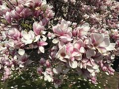 Magnolia 2019! (echumachenco) Tags: magnolia flower tree spring april iphone salzburg austria makartplatz blossom petal