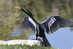 Anhinga!  Anhinga! (wandering tattler) Tags: anhinga bird snakebird water myakka florida widlife 2019