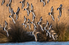 Oare 08.01.19  Black tailed Godwits flying