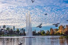 A Flock of Pigeons Flying Over Echo Park Lake (SCSQ4) Tags: birdsinflight california donutstreetmeet echopark echoparklake flockofbirds losangeles morning pigeons