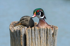 Unusual combination wood duck and mallard couple nesting. (Mel Diotte) Tags: wild nature unusual nesting pair wood duck mallard eggs nikon d500 200500mm lens mel diotte explore