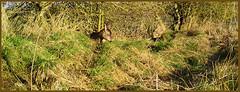 Roe Deer Sleeping 03180452 (dark-dave) Tags: deer roedeer sleeping wildlife bushnell
