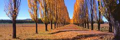 Autumn is here! (Martin Canning) Tags: 617 australia blairmore fuji fujig617 fujifilm g617 gleninnes martincanning martincanningcom nsw newengland newsouthwales velvia50 analog autumn autumncolours autumnal film mediumformat panorama panoramic poplar velvia yellow