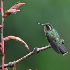 Speckeled Hummingbird (Peter Burke) Tags: hummingbird ecuador speckledhummingbird adelomyiamelanogenys
