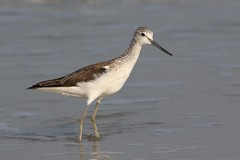 "Greenshank (Tringa nebularia) (dbarlow) Tags: india goa greenshank ""tringanebularia"""