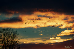 Flying birds ... (mariola aga) Tags: winter evening sunset sky clouds trees birds flock silhouettes nature coth coth5 fantasticnature