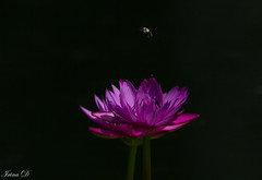 Color for a dark winter day (Irina1010) Tags: flower purple waterlily bee insect darkbackground beautiful nature canon gibbsgardens coth5 ngc npc