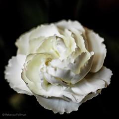 Swirl. #Takoma #dc #dclife #washingtondc #canon #rebelxs #realcamera #Canon #EFS60mm #macro  #flower #flowersofinstagram (Kindle Girl) Tags: realcamera takoma dc dclife washingtondc canon rebelxs efs60mm macro flower flowersofinstagram