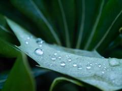Water Drop (sheikaweb) Tags: water drop goutte eau green vert leaf feuille macro