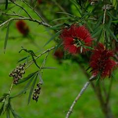 Flower (theq629) Tags: carplake plant flower taiwan hualian