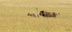LION 13 (Nigel Bewley) Tags: tanzania africa wildlife nature wildlifephotography nigelbewley photologo appicoftheweek safari gamedrive lion pantheraleo simba lionrock priderock maswagamereserve march march2019 bigcat onheat