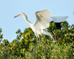 White Morph Reddish Egret Landing (dbadair) Tags: outdoor white morph sky nature wildlife 7dm2 ef100400mm canon florida bird