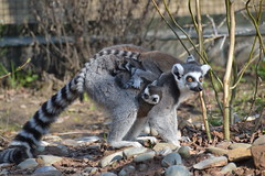 Ring-tailed Lemur (Lemur catta) (Seventh Heaven Photography) Tags: ringtailed lemur ring tailed primate strepsirrhine lemuridae black white omnivore lemurcatta catta nikond3200 chester zoo cheshire england babied baby twins juvenile infants endangered