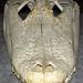 Alligator mississippiensis skull (American alligator) 7