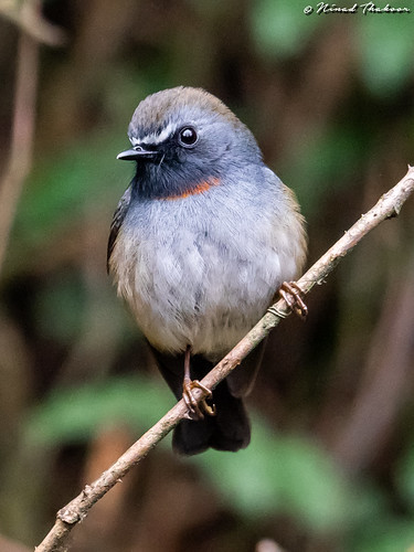 """Rufous-gorgeted Flycatcher (Lifer) • <a style=""""font-size:0.8em;"""" href=""""http://www.flickr.com/photos/59465790@N04/46874746994/"""" target=""""_blank"""">View on Flickr</a>"""