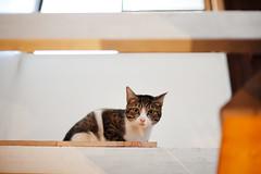 [ハチマロ通信] またも人間を見下ろすハッチ (moriyu) Tags: japan tokyo nikon d700 cat 猫 ニコン 東京