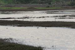 Rainy day salt pan shallow water (stonebird) Tags: ballonawetlandsecologicalreserve saltpan rainyday areab february img8661 northernshoveler blackbelliedplover