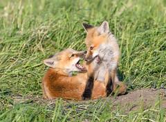 Red Foxes - Vulpes vulpes (Canidae) 117x-0671 (Perk's images) Tags: redfox vulpesvulpes mammalia carnivore nearctic foxpups foxkits opal alberta canada animalplanet mammal carnivora